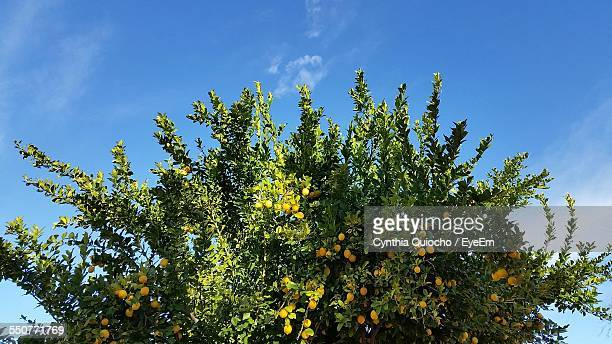 Lemon Tree Against Sky