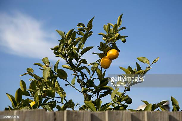 A lemon tree growing behind a fence