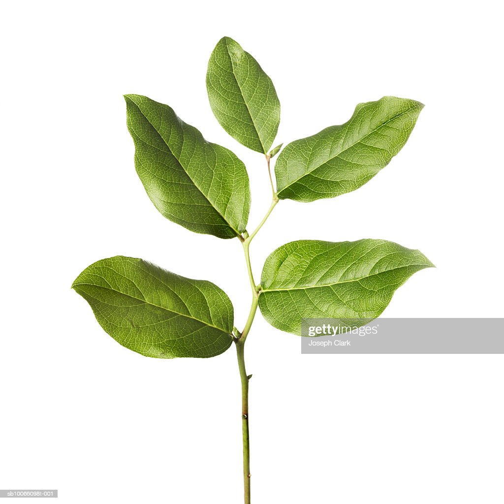 Lemon tree leaves against white background, close-up