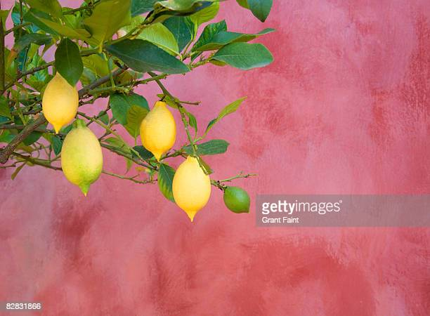 lemon tree near red wall