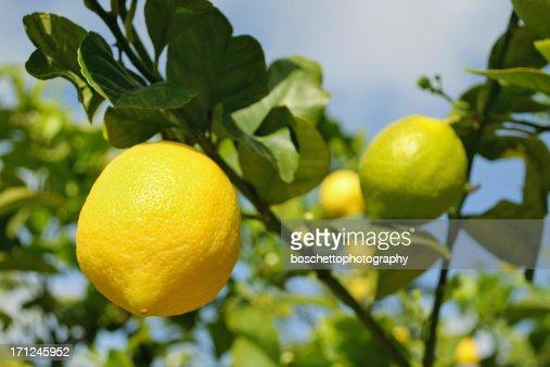 Citronnier photo getty images - Citronnier feuilles jaunes ...