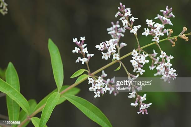 Limoncina, Aloysia triphylla, ramo con foglie e fiori