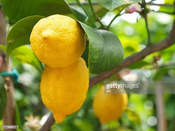 Limoni sull'Albero di limone in crescita