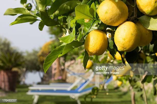 Lemons an der Amalfiküste, Italien