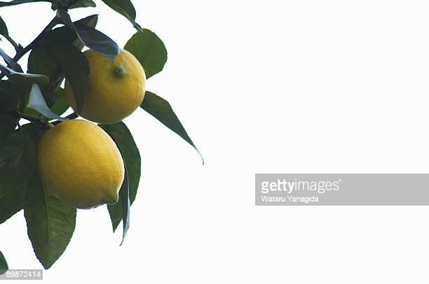 Lemons on branch