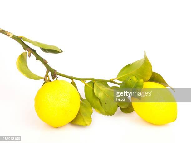 lemons on the lemon tree