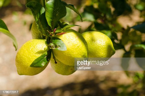 Lemons : Stock Photo
