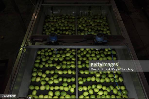 Lemons sit on a conveyor belt at a facility in Argentina