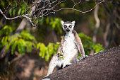 Lemur Catta Relaxing at Camp Catta Madagascar
