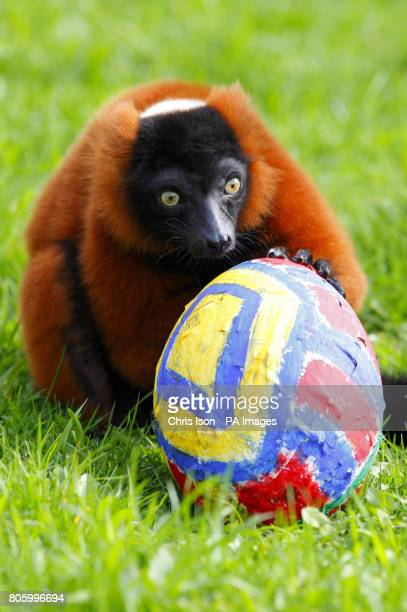 A lemur examines an Easter themed treat at Marwell Wildlife Park near Winchester They were given papier mache eggs containing tasty treats of banana...