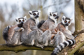 A family of ring-tailed Madagascan lemurs cuddle up in a zoo enclosureSimilar images from my portfolio: