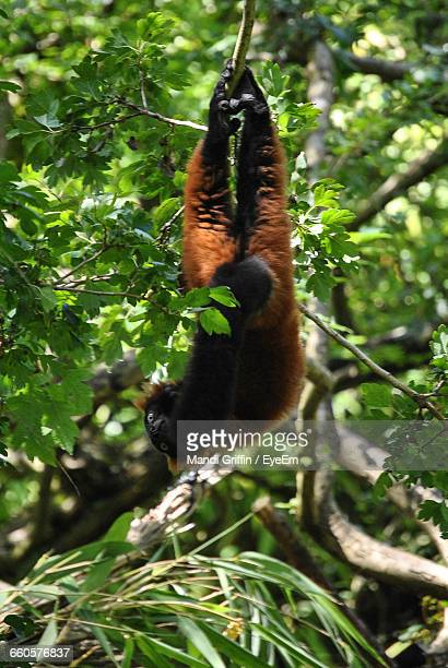 Lemur Hanging From Branch In Forest