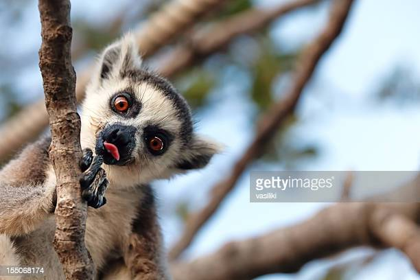 A lemur in a tree sticking its tongue out