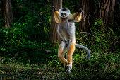 Coquerel's sifaka medium-sized lemur in rain forest trees Madagascar