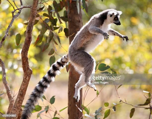 A lemur jumps from a tree in Antananarivo on July 21 2014 in Antananarivo Madagascar
