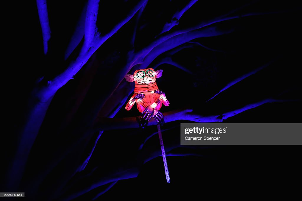 A lemur light sculpture is displayed in a tree during a media preview of Vivid Sydney illuminated displays at Taronga Zoo on May 24, 2016 in Sydney, Australia. Vivid is lighting up at Taronga Zoo for the first time with ten giant animal sculptures representing critical species the zoo is committed to protecting. Held annually, Vivid Sydney is the world's largest festival of light, music and ideas running for 23 days.