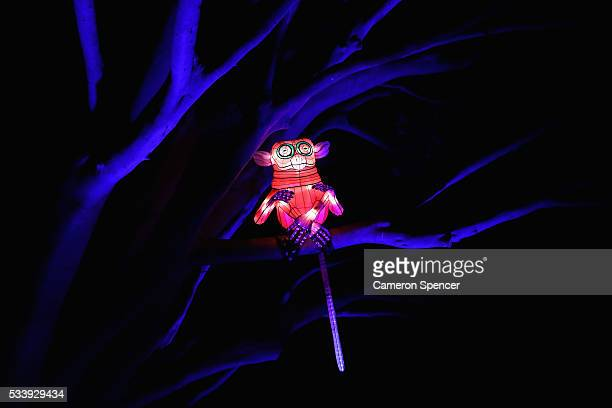 A lemur light sculpture is displayed in a tree during a media preview of Vivid Sydney illuminated displays at Taronga Zoo on May 24 2016 in Sydney...