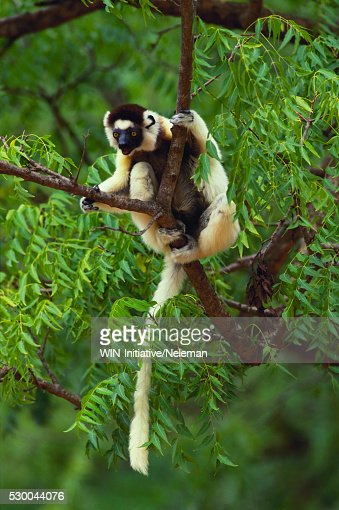 lemur verreauxs sifaka perched in tamarind tree stock photo, Beautiful flower