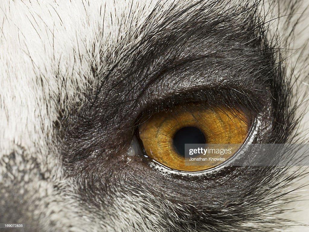 Lemur's eye, close up : Stock Photo
