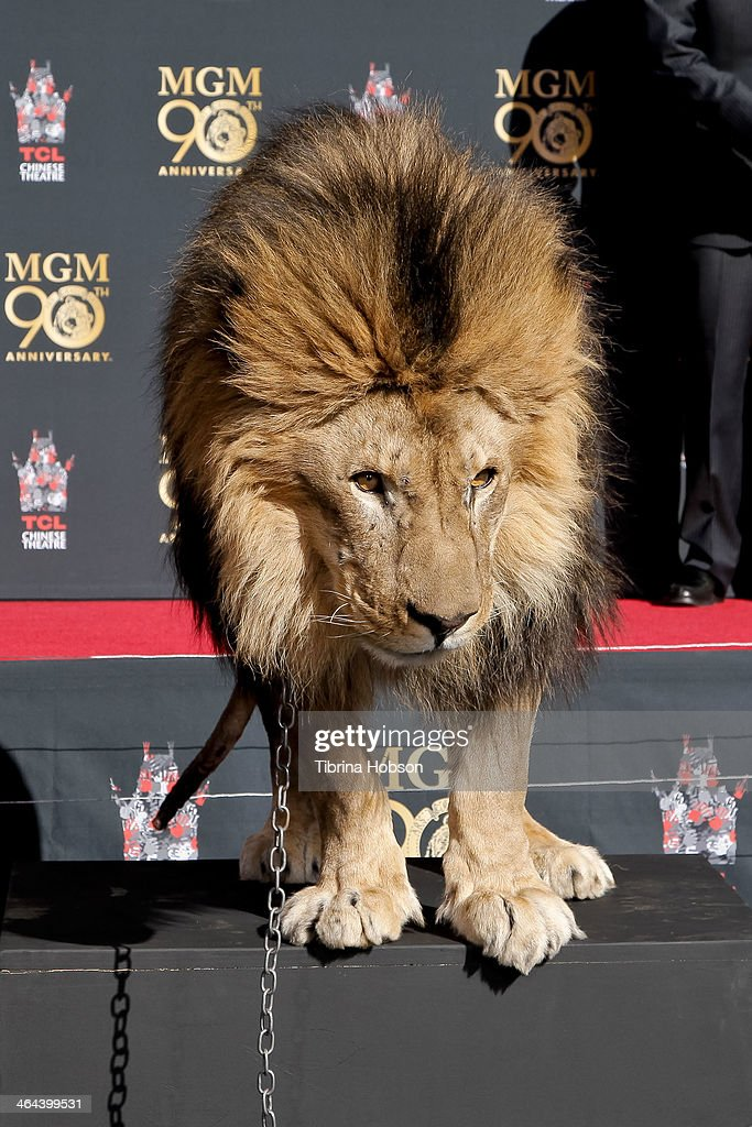 'Leo' the lion attends the Metro-Goldwyn-Mayer kicks off 90th Anniversary celebration held at TCL Chinese Theatre on January 22, 2014 in Hollywood, California.
