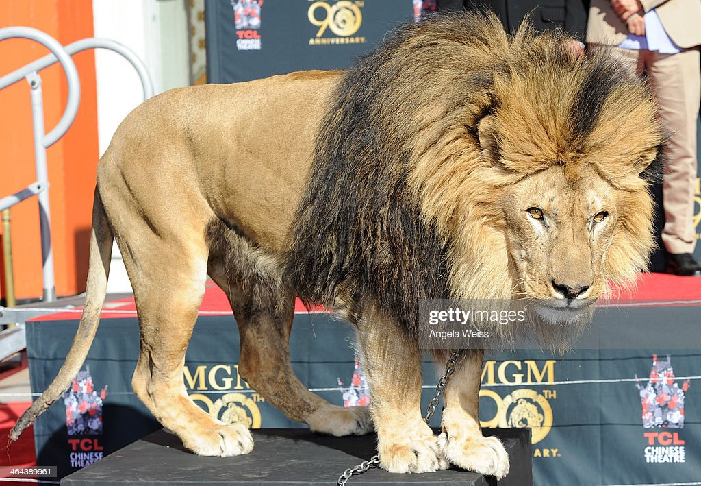 'Leo the Lion' of MGM poses for the media at the Metro-Goldwyn-Mayer 90th Anniversary Celebration at TCL Chinese Theatre on January 22, 2014 in Hollywood, California.