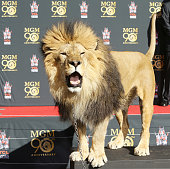 'Leo' the lion poses for the media at the MetroGoldwynMayer kicks off 90th Anniversary celebration held at TCL Chinese Theatre on January 22 2014 in...
