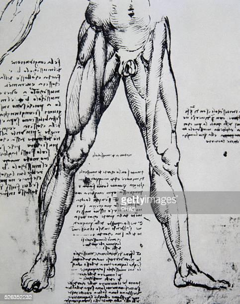 Leonardo da Vinci Italian polymanth Genius Renaissance Drawing on anatomy by Leonardo da Vinci The Muscles of the legs