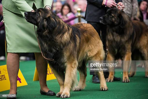 A leonberger competes in the Westminster Dog Show on February 11 2014 in New York City The annual dog show has been showcasing the best dogs from...