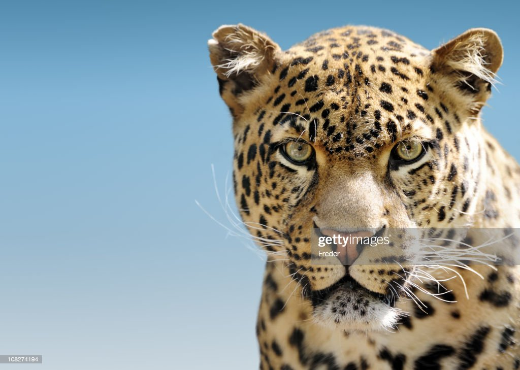 Leopard Against Blue Sky