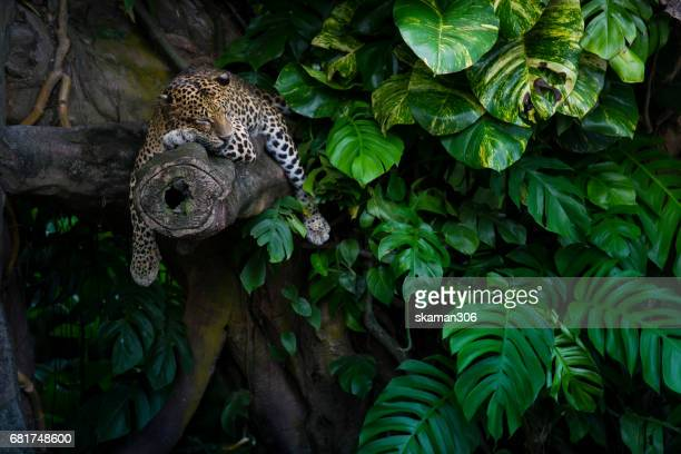 Leopard asleep on the branch with green tree