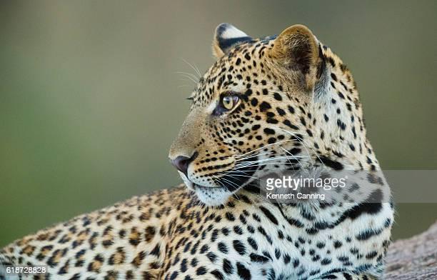 Leopard at Serengeti National Park, Tanzania Africa