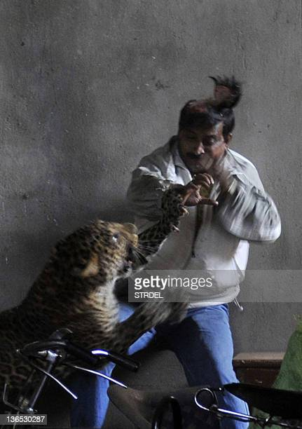 A leopard attacks and wounds a man in a residential neighbourhood of Silphukhuri area in Guwahati on January 7 2012 Three people were seriously...