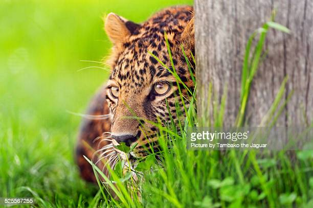 Leopard behind the tree