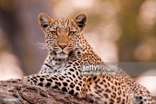 Leopard, Chobe National Park, Botswana : Stock Photo