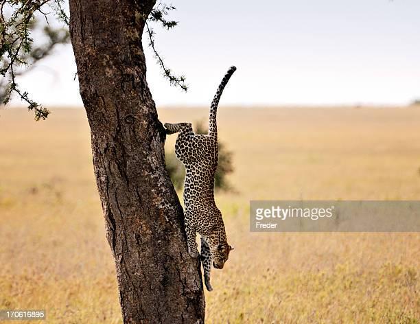 Léopard dans un arbre d'escalade