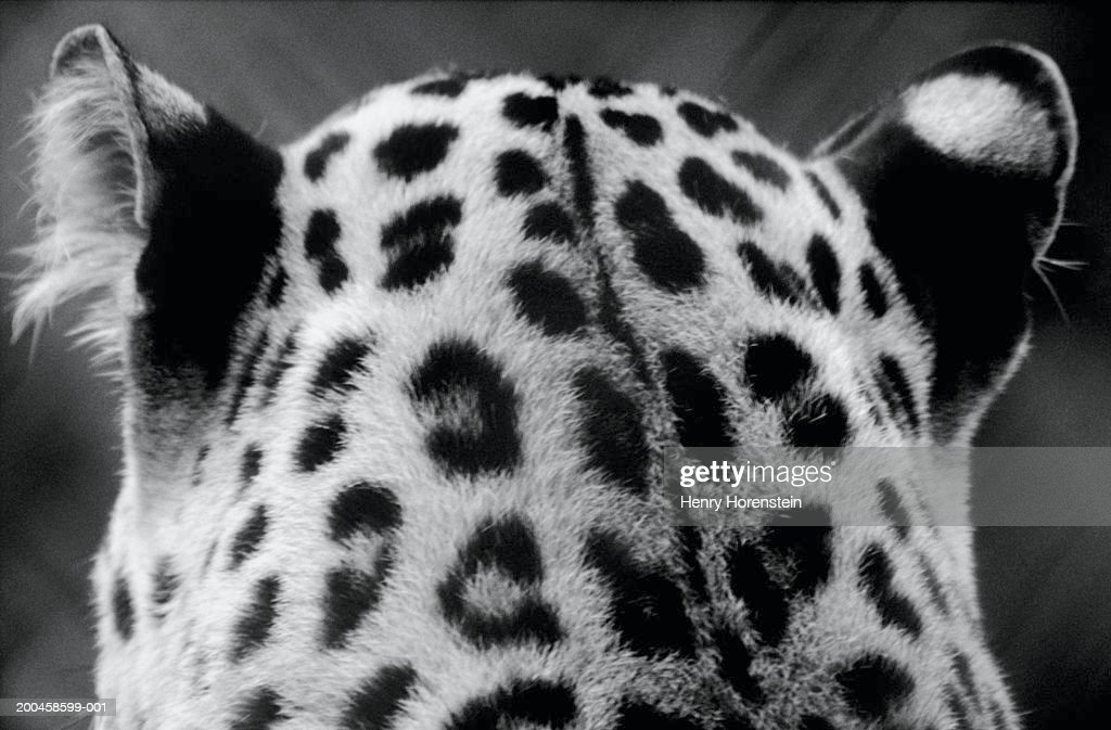 Leopard, close-up of head, rear view (B&W)