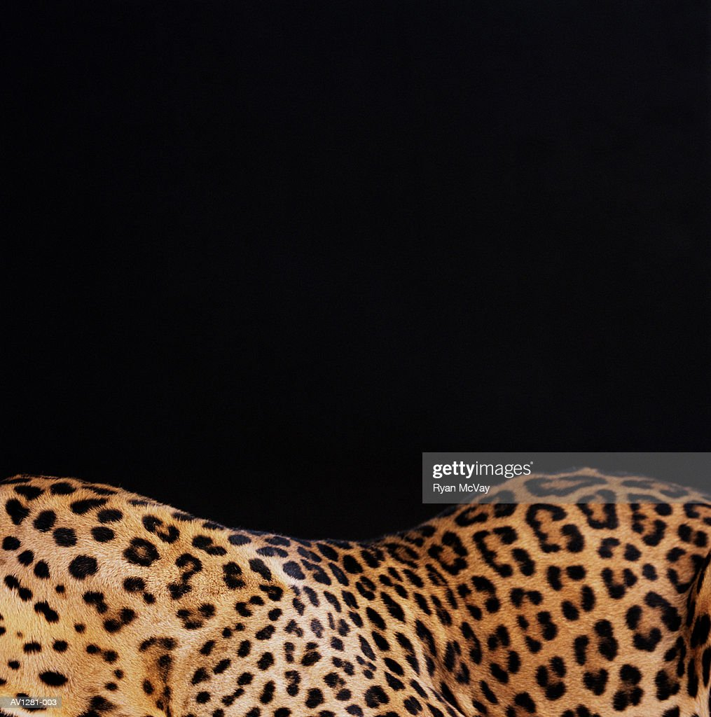 Leopard (Panthera pardus), close-up, side view : Stock Photo