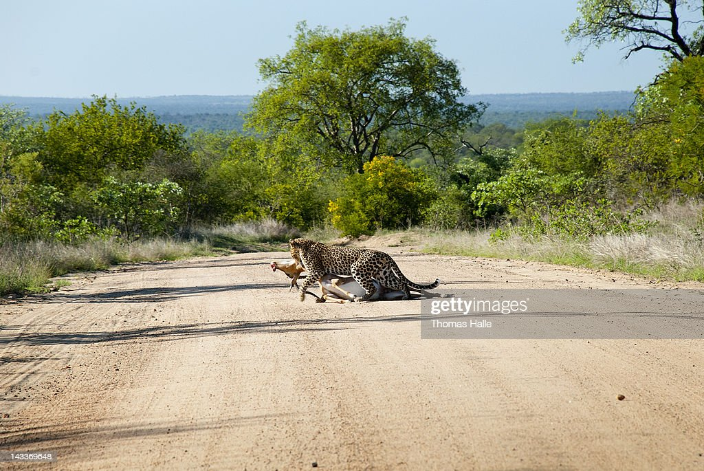 Leopard crossing road with dead impala : Stock Photo