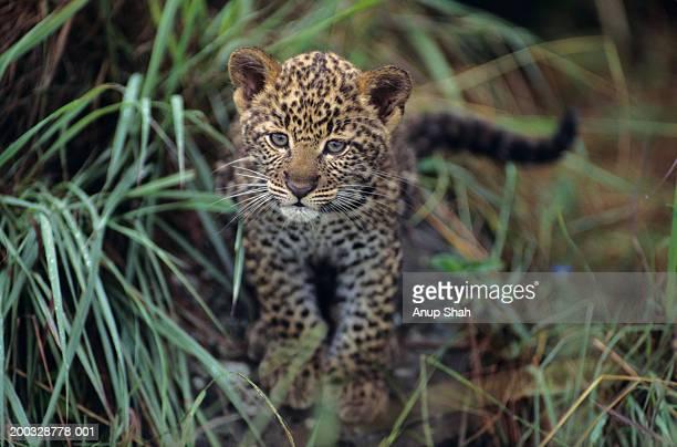 Leopard cub (Panthera pardus) in long grass, Kenya