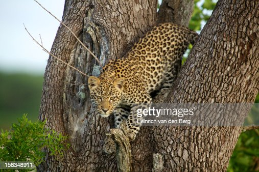 Leopard cub in tree : Stockfoto