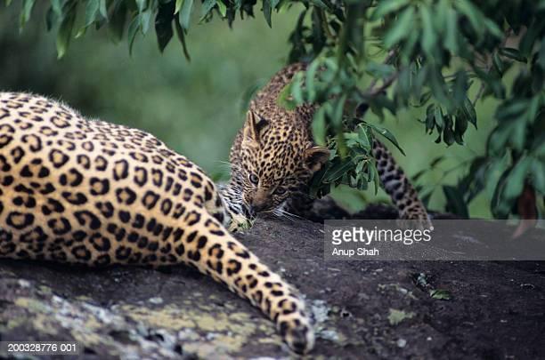 Leopard cub (Panthera pardus), licking mother, Kenya