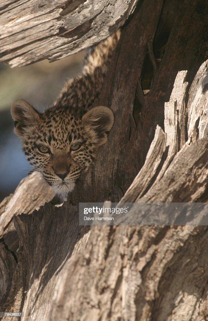 Leopard (Panthera pardus) cub peering out form behind a dead log. Okavango Delta, Botswana, Africa : Stock Photo