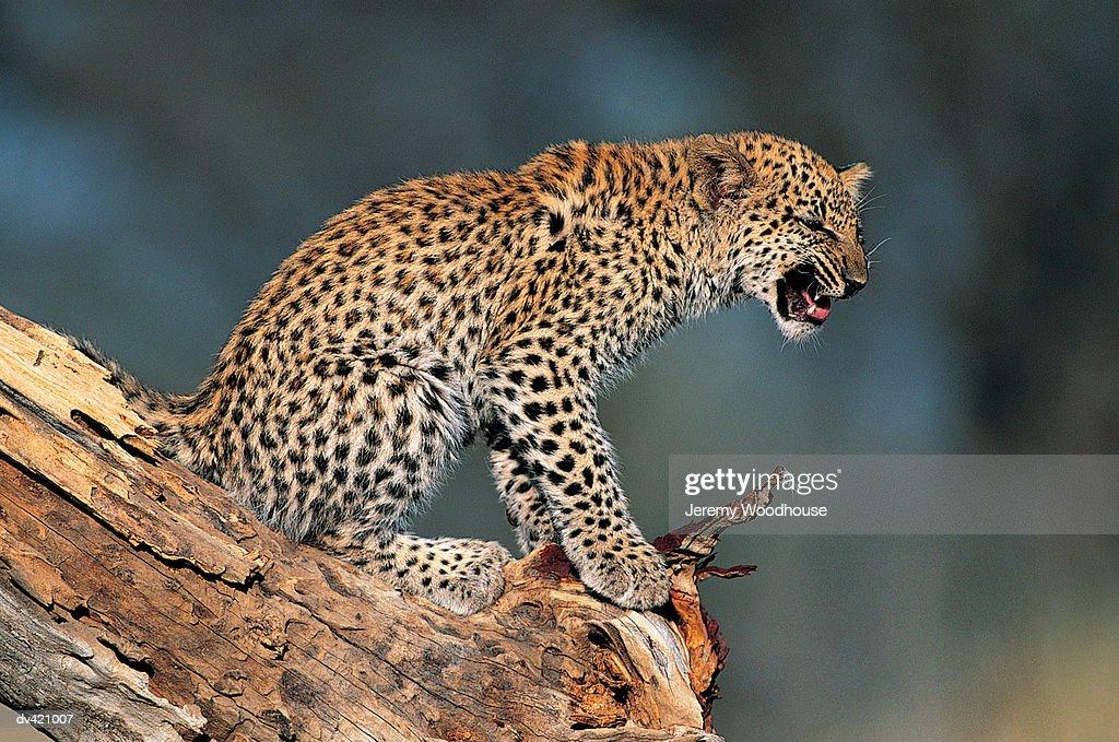 Leopard Cub (Panthera pardus) : Stock Photo