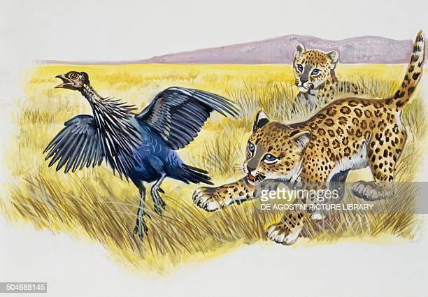 Leopard cubs Felidae chasing a vulturine guineafowl Numididae drawing