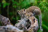 Mother of these two 8 weeks old Leopard cubs is Leopard Bahati