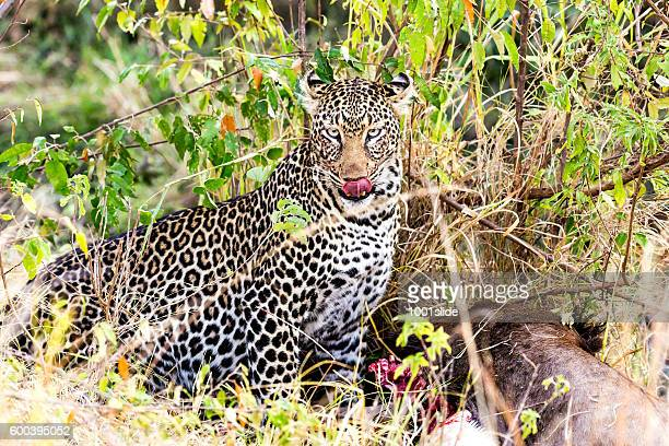 Leopard eating at secret place on the ground - camouflage