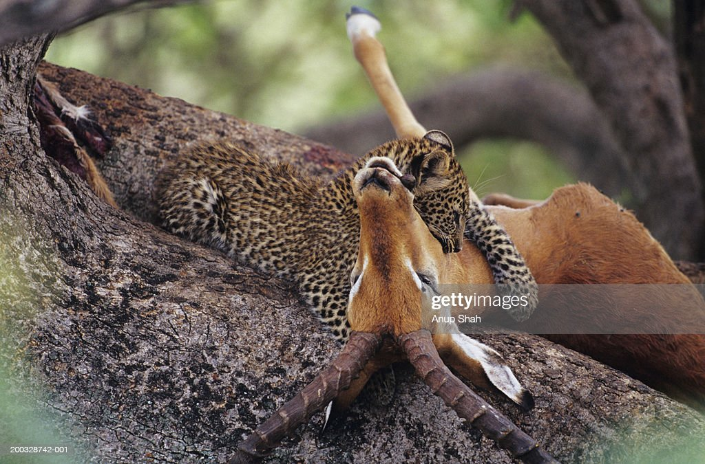 Leopard (Panthera pardus) eating carrion in tree, Kenya