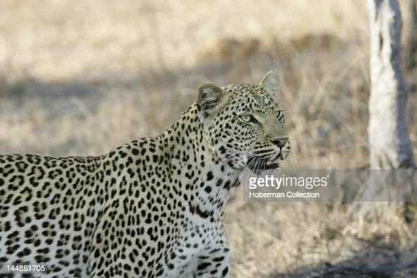Leopard Elephant Plains Sabi Sabi Greater Kruger National Park Mpumalanga South Africa Africa