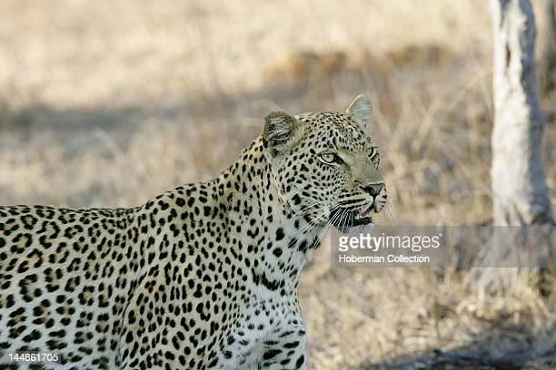 Leopard Elephant Plains Sabi Sabi Greater Kruger National Park Mpumalanga South Africa Africa