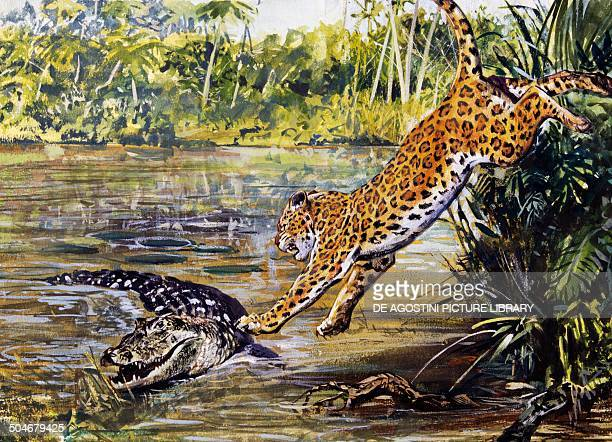Leopard Felidae assaults a Black caiman Alligatoridae drawing